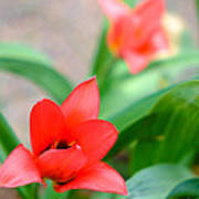 Tulip Of Dream Poster