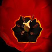 Tulip On Black Poster