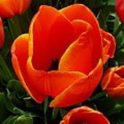 Tulip Orange Flower Poster