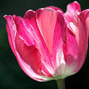Tulip Painted In Shades Of Pink Poster by Rona Black