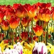 Tulip Stand In Mount Vernon Washington Poster