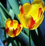 Tulip Sun Burst Poster