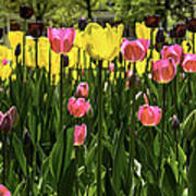 Tulip Time Pink Yellow Black Beauty Poster