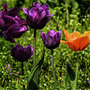 Tulip Time Purple And Orange Poster