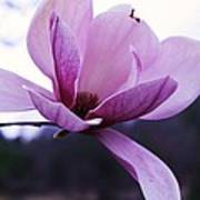 Tulip Tree Blooming Poster