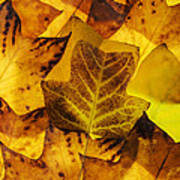 Tulip Tree Leaves In Autumn Poster