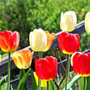 Tulips Aglow Poster by James Hammen