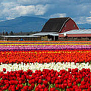 Tulips And Barn Poster