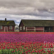 Tulips And Barns Poster