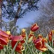 Tulips At Dallas Arboretum V37 Poster