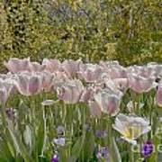Tulips At Dallas Arboretum V45 Poster