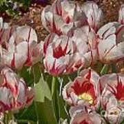 Tulips At Dallas Arboretum V53 Poster