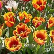 Tulips At Dallas Arboretum V71 Poster