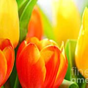 Tulips Poster by Elena Elisseeva
