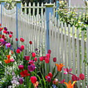 Tulips Garden Along White Picket Fence Poster