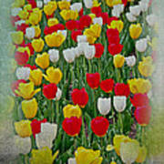 Tulips In A Field Poster