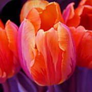Tulips In Orange And Purple Poster