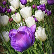 Tulips In Purple And White Poster