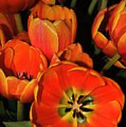 Tulips Of Fire Poster