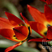 Tulips On Fire Poster