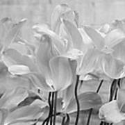 Tulips Oxford Poster