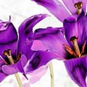 Tulips - Perfect Love - Photopower 2081 Poster