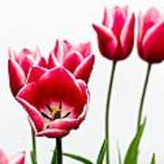 Tulips Say Hello Poster