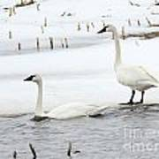 Tundra Swans Poster