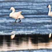 Tundra Swans Walking On Ice Poster