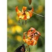 Turks Cap Lilies And Butterfly Poster