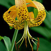 Turk's Cap Lilly Poster