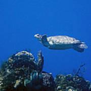 Turtle Flying Underwater Poster