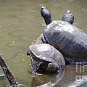 Turtle Trio Poster