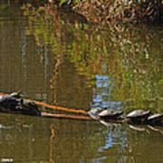 Turtles On A Log Poster