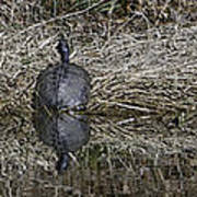 Turtles Sunning On Bank Poster