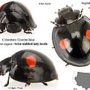 Twice-stabbed Lady Beetle Poster