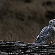 Twilight Owl Poster