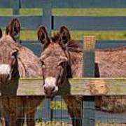 Twin Donkeys Poster