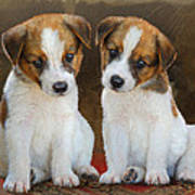Twin Puppies Portrait Poster