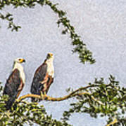 Two African Fish Eagles Haliaeetus Vocifer  Poster