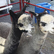 Two Alpacas Poster