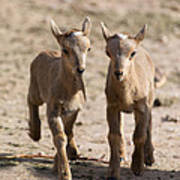 Two Aoudad Babies Playing Poster