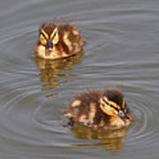 Two Baby Ducklings Poster