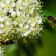 Two Bees On A Rowan Truss - Featured 3 Poster