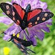 Two Black And Red Butterflies Poster