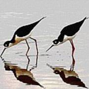 Two Black Neck Stilts Eating Poster