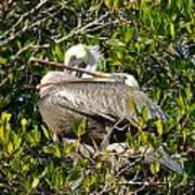 Two Brown Pelicans Poster