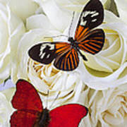 Two Butterflies On White Roses Poster