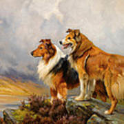 Two Collies Above A Lake Poster