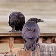 Two Common Ravens Corvus Corax Interacting Poster